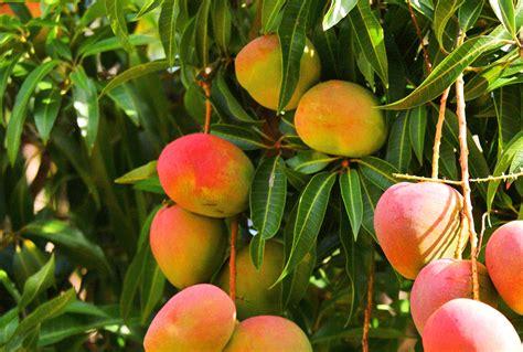 El cultivo de mango crece un 30 por ciento en la Costa Tropical