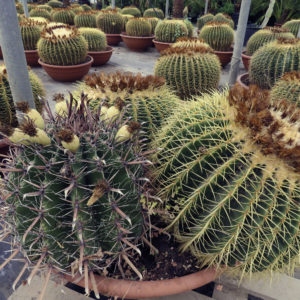 Comprar Cactus
